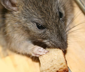 mice rat rodent extermination and control sacramento